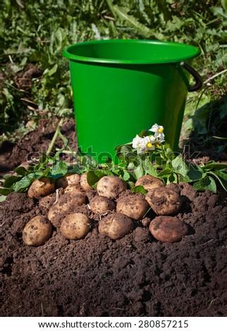 Harvesting potatoes. Fresh organic potatoes on the ground and a bucket - stock photo