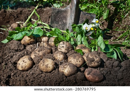Harvesting potatoes. Fresh organic potatoes on the ground and shovel - stock photo