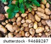 Harvesting potatoes with green leaves. - stock photo
