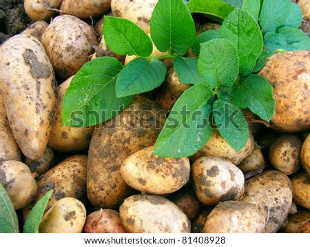 Harvesting potatoes with green leaves.