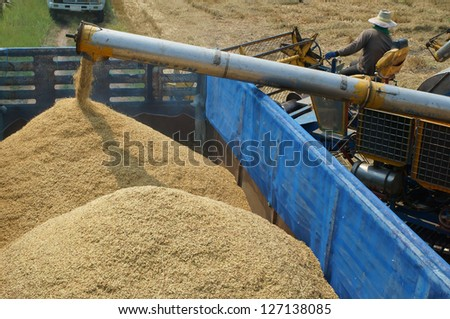 harvesting rice - stock photo