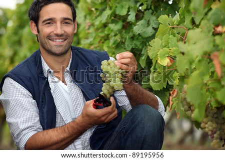 Harvesting the grapes. - stock photo