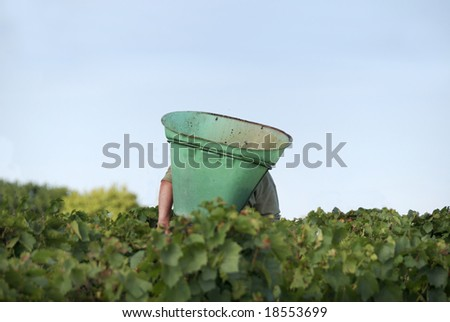 Harvesting the wine grapes in the vineyard in France