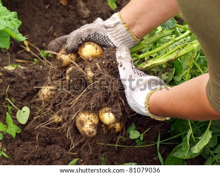 Harvesting the young potatoes in the garden - stock photo