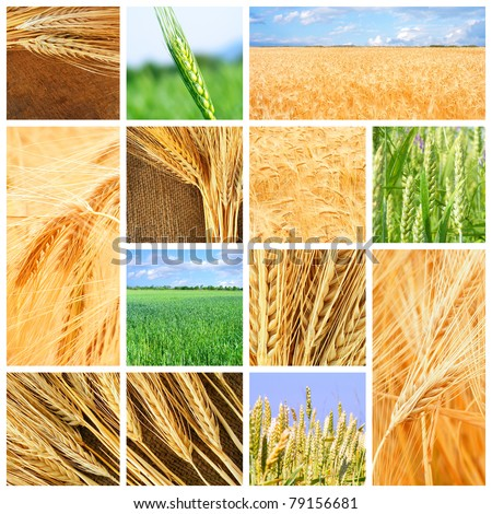 Harvesting wheat. Cereal concepts. - stock photo