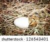 Hatching little mallard duckling from its egg - stock photo