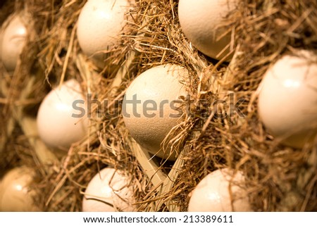 Hatching ostrich eggs. - stock photo