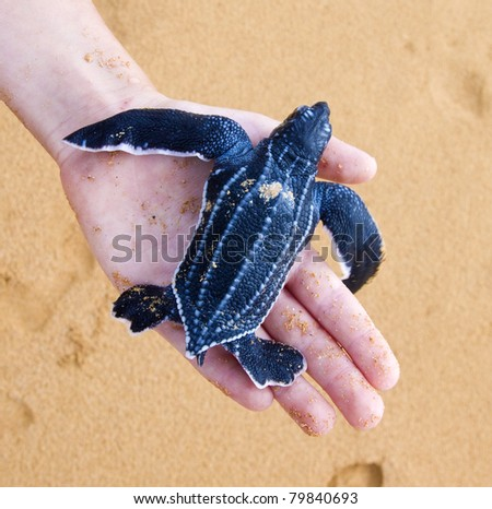 Hatchling Leatherback a baby palm