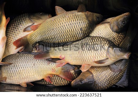 haul of carp fishes  - stock photo
