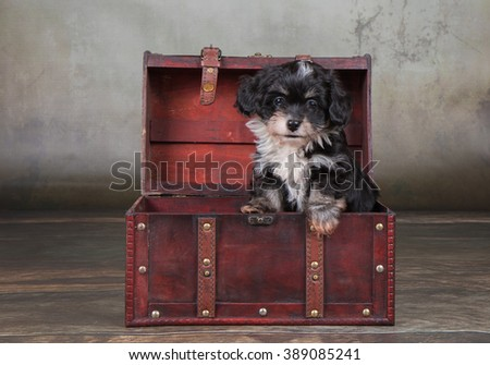 Havanese dog puppy in treasure chest - stock photo