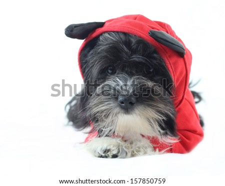 Havanese puppy as a devil in front of white background