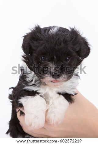 havanese puppy dog on white background