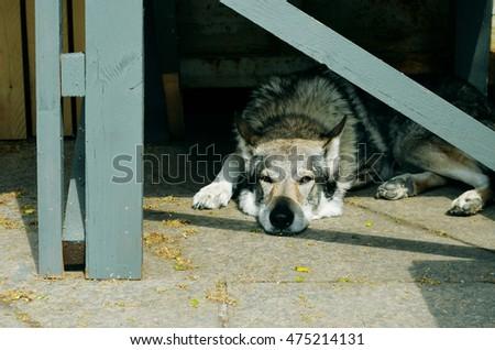 Angry Dog Barking Enraged Dog Home Stock Photo 376623397