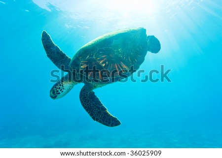 hawaii green sea turtle backlit from sun in turquoise waters