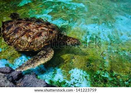 Hawaii green turtle - stock photo