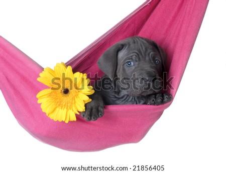 Hawaii puppy - stock photo