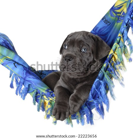 Hawaii puppy in blue - stock photo