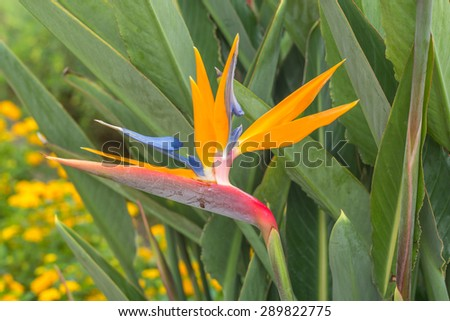 Hawaiian bird of paradise flower in Waikiki with orange, red, blue,white and green colors against a yellow and green blurred background. - stock photo