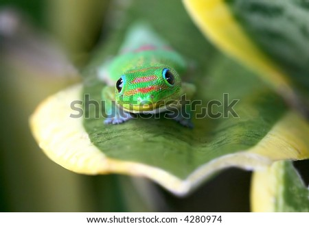 Hawaiian Gecko - stock photo