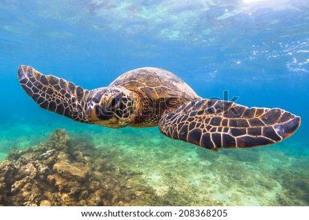 Hawaiian Green Sea Turtle - stock photo