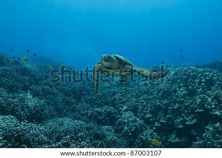 Hawaiian Green Sea Turtle - stock photo