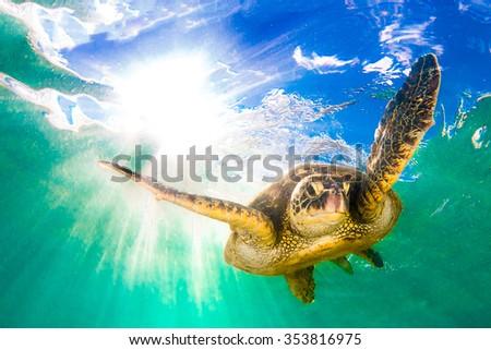 Hawaiian Green Sea Turtle cruising in the warm waters of the Pacific Ocean in Hawaii - stock photo