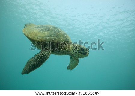 Hawaiian green sea turtle diving down from the surface towards the camera