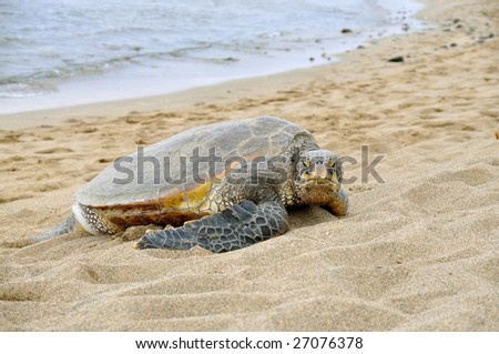 Hawaiian green sea turtle on the beach. - stock photo