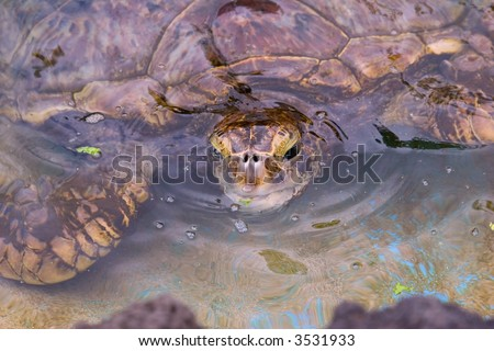 Hawaiian green sea turtle sticking it's head out of the water for a peak