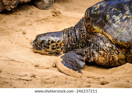 Hawaiian green turtle - stock photo