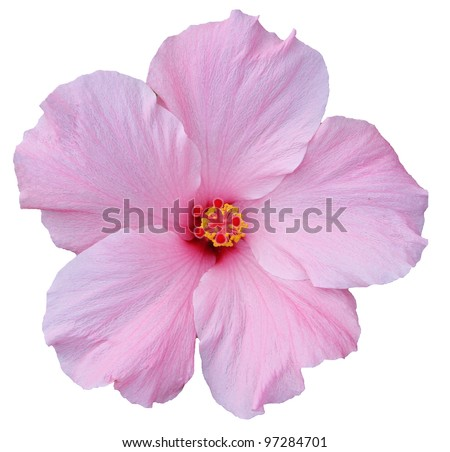 Hawaiian Pink Hibiscus isolated on white. Easy to make clipping path. - stock photo