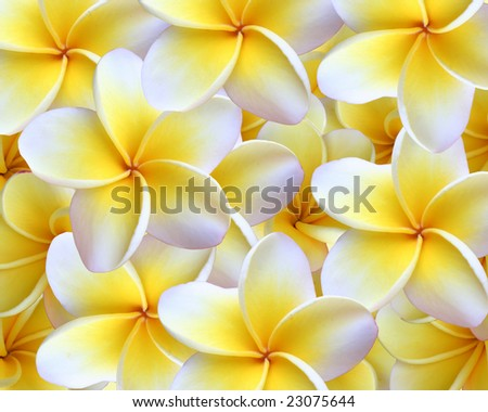 Hawaiian Plumeria Background (Plumeria are used to make the Hawaiian leis). - stock photo
