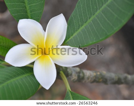 Hawaiian plumeria flower on a branch. - stock photo