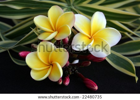Hawaiian Plumeria flower used for making leis. - stock photo