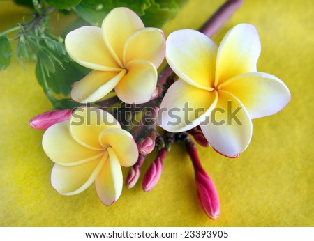 Hawaiian Plumeria which is used to make the aloha leis. - stock photo