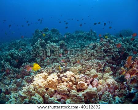 Hawaiian Reef Scene with fish in Kona - stock photo