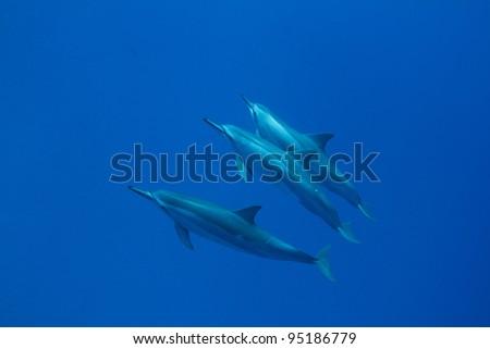 Hawaiian Spinner Dolphin - stock photo