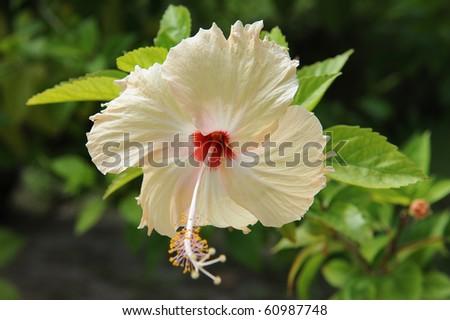 Hawaiian white flower - stock photo