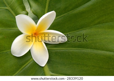 Hawaiian white plumeria on green leaf. - stock photo