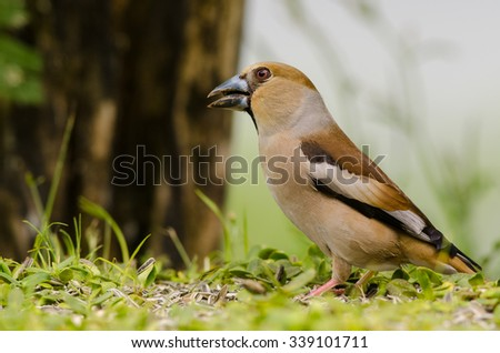 Hawfinch bird sitting on the ground in a forest - stock photo