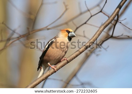 Hawfinch (Coccothraustes coccothrautes) on a twig.