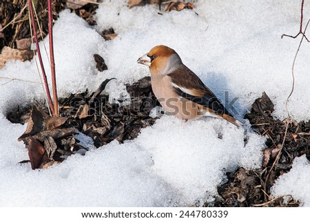 Hawfinch searching for food - stock photo