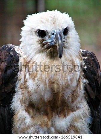 Hawk Eagle Fierce Portrait - stock photo