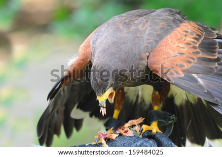hawk eat meat - stock photo