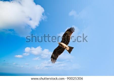 Hawk falcon in the blue sky Kathmandu Nepal - stock photo