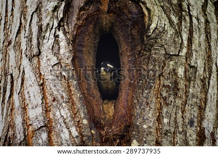 Hawk flapper in a hollow tree,Bird,Black-thighed Falconet (Microhierax fringillarius) - stock photo