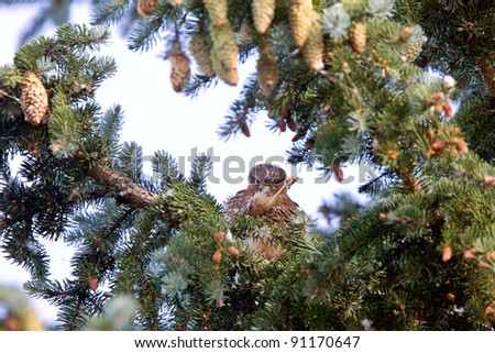 Hawk fledling in pine tree - stock photo