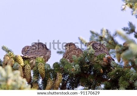 Hawk fledlings in pine tree - stock photo