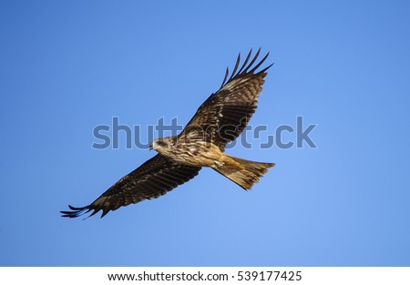 hawk fly in nature thailand