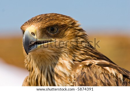 hawk head close-up on clean sky background - stock photo